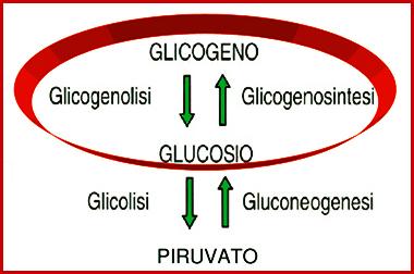 glicogenosintesi