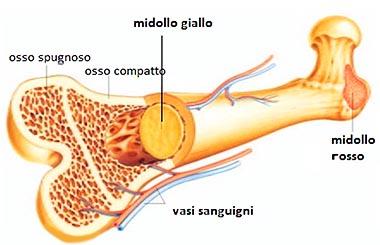Struttura ossea