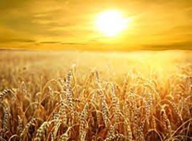 sole sul grano