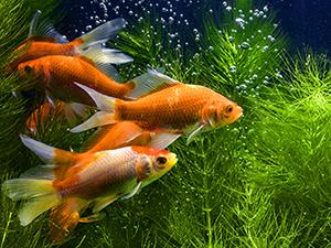 Respirazione dei pesci
