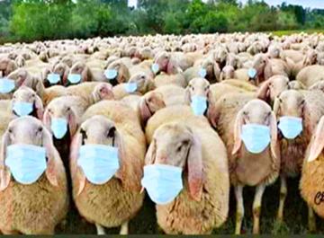 Pecore al macello