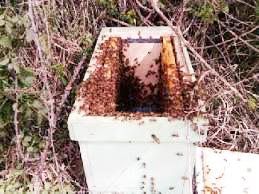 Sciamatura delle api da un'arnia