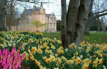 Daffodil in Scozia