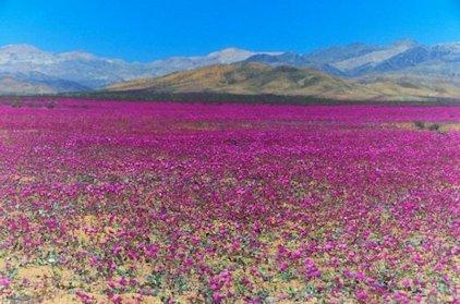 Deserto fiorito d'Atacama