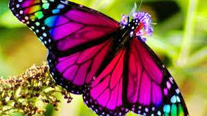 Farfalla multicolore