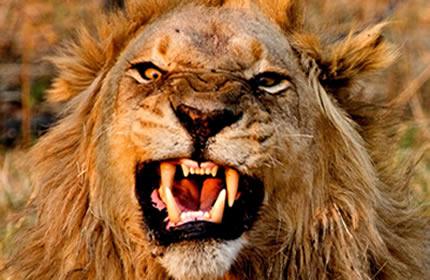 Feroce leone