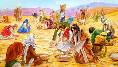 La raccolta quotidiana della manna