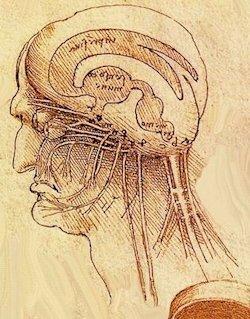 Leonardo da Vinci - Nervi cranici