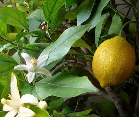 Limone fiorito