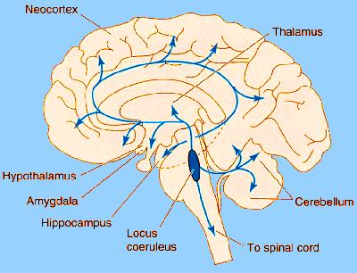 Locus coeruleus