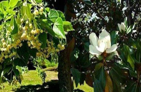 Magnolia e tiglio