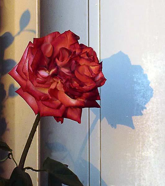 Ombra della rosa