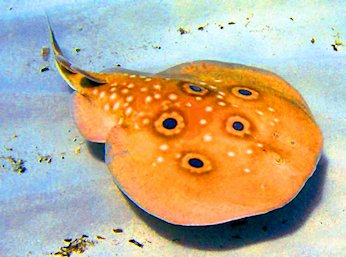 Pesce torpedine