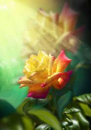 Rosa e raggio di sole