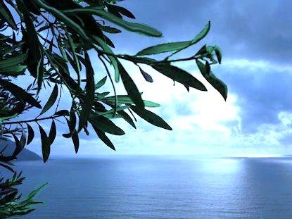 Ulivo sul mare