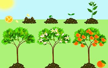 ciclo vitale della pianta
