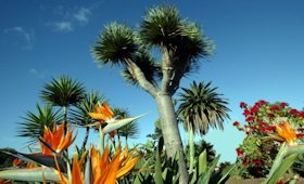 flora a Tenerife