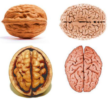 noce e cervello